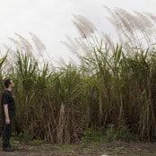 Ben in sugarcane
